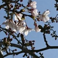 三郷市内桜開花