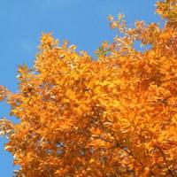 コナラの葉も紅葉して