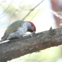 昭和の森でアオゲラが木を掘ってエサを探しています。