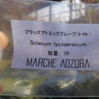 ミニトマト種まき