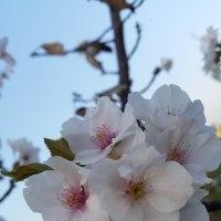 桜沢公園の三大匂い桜