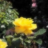 バラ屋敷 3