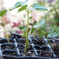 「ゴーヤー」類苗・「ナス」類苗・「みずほニューメロン」苗の植え付け