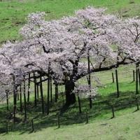観音桜満開