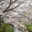 桜満開なのに…😥