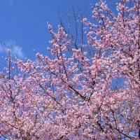 カワズ桜満開