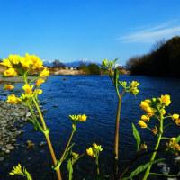 『花水川』 惜春の