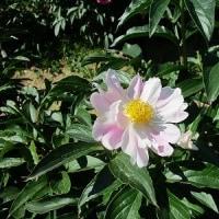 旭公園のシャクヤクの花
