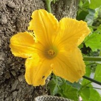 「昔キュウリ」&「昔カボチャ」に花が・・・いわき