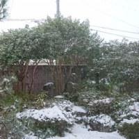 予報通り雪。