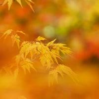 紅葉 (花 4120)