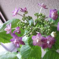 我が家の草花の紹介です