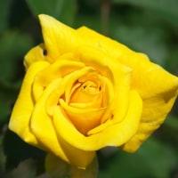 「幸福の色」=黄色いバラを集めてみました その1