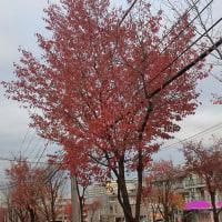 街路樹も紅葉してます