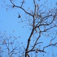 小幡緑地 の 探鳥会