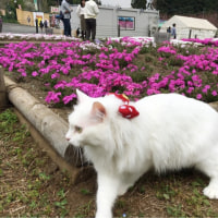 羊山公園の芝桜③