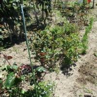 耕作放棄地からバラ園へ 2017.4.25