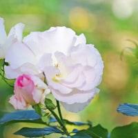 [#3500] 12月,1月に撮影したマクロ写真(10)バラ(白系)