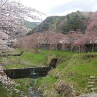 箱根、宮城野の桜  2017