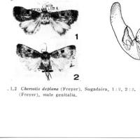 ヒメカクモンヤガChersotis deplanataについて