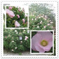 風に揺れて・・・コスモスの花