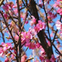 緋寒桜が咲いていました。今日は一般選抜(前期日程)の入学試験です。