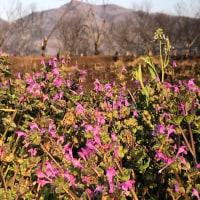 ホトケノザからの足尾山