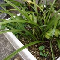中国春蘭 大富貴と寄せ植えの素大富貴も開花