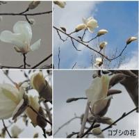 わが町の街路樹・コブシの花