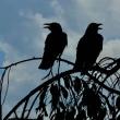 aves 539