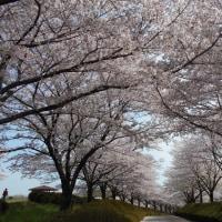 桜のトンネルを往く (東松山市・農林公園)