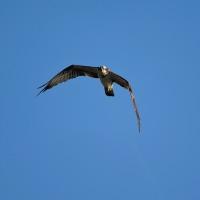 ミサゴの不思議な飛行写真(その2) (Photo No.13984)