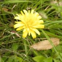 道ばたにブタナの黄色い花