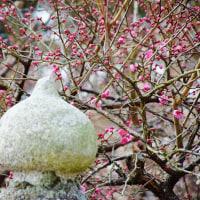 今治市桜井の綱敷天満神社で梅が咲き始めました