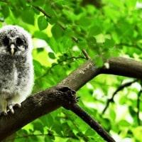 今日の野鳥       フクロウの雛・ムクドリ