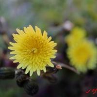2月の花 ノゲシ