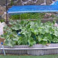 キンショウメロン栽培、地這いと棚に誘引、誘引棚を作成した