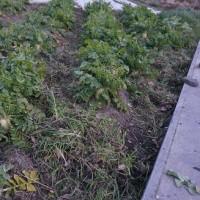 法蓮草と大根の草を取りました。