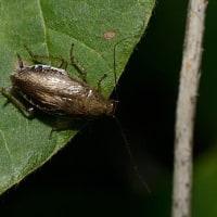ツチゴキブリ