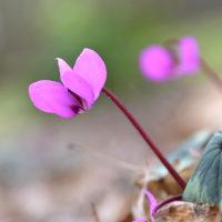 野に咲くシクラメンの花