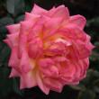 神代植物公園のバラ2011秋546