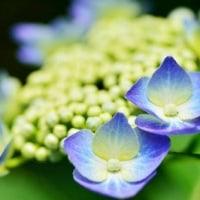 nobくんの紫陽花