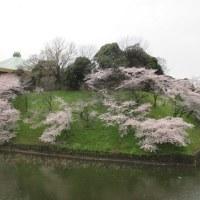 東京では桜が満開(13年目)