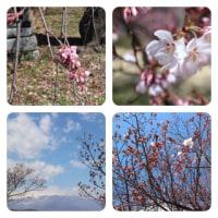 梅も桜も。