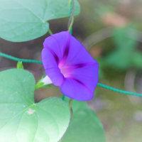 花木点景:夏呼ぶ紫