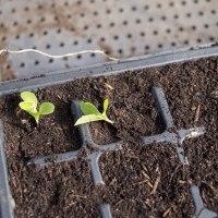 レタスの芽をプラグトレーに移植しました。