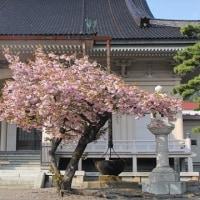 """寺院の庭に咲く""""満開の桜""""..."""