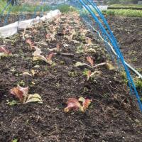 レタスの植え付け