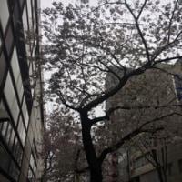 満開から桜吹雪へ