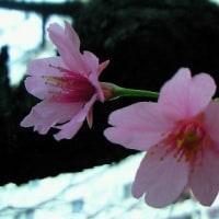 春の花が咲き始めています